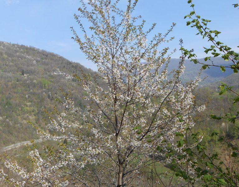 Albero in fiore in Val Germanasca